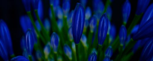 agapanthus, spring, buds, blue, dark, flower