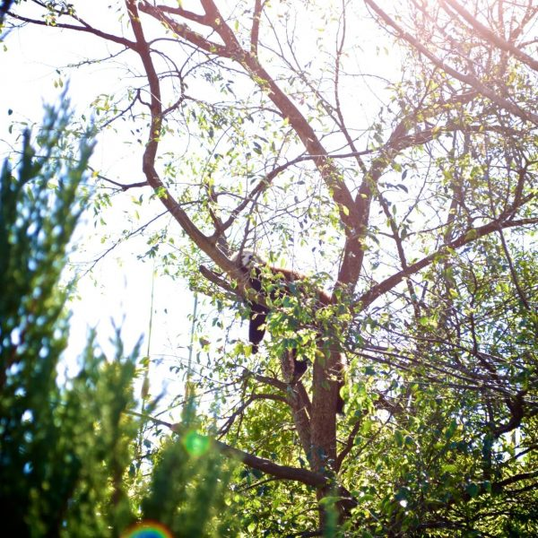 red panda, sleeping, animal, nature, trees, zoo, Adelaide zoo